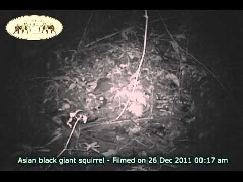Asian Black Giant Squirrel & Banded Linsang - Elephant Hills and Rainforest Camp