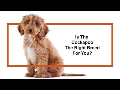 Is the Cockapoo the right breed for you?