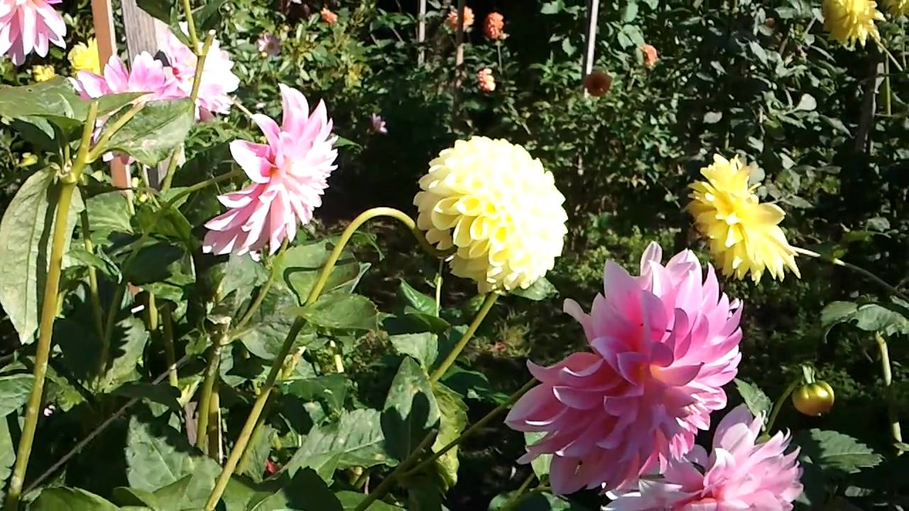 dahlia flower garden volunteer