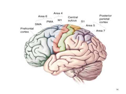 PHA10014 PHA10016 Structure of the forebrain and cortex 2015 2016