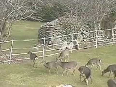 Deer Versus Electric Fence Who Wins Youtube