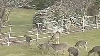 Deer  versus Electric Fence Who wins?.