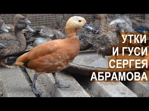 Утки и гуси в птичьем парке Сергея Абрамова