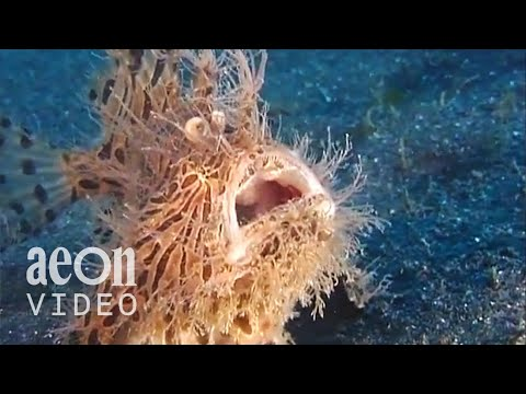 The Insatiable Hairy Frogfish