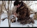 Fox Snaring in Winter Snow
