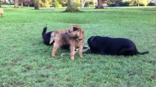 Border Terrier Tug Of War