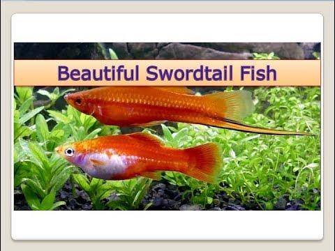 Beautiful Swordtail Fish Facts