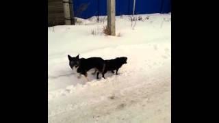 Собаки))смотреть до конца