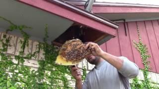 Honey Bee hive Removal by Luis Slayton of Bee Strong Honey