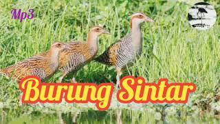 Download Mp3 Mp3 Suara Pikat Burung Sintar Durasi Panjang Dan Suara Jernih Di Jamin Joss