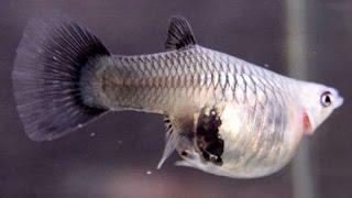 Как Гуппи рожает мальков. Нерестовик для мальков живородящих рыб