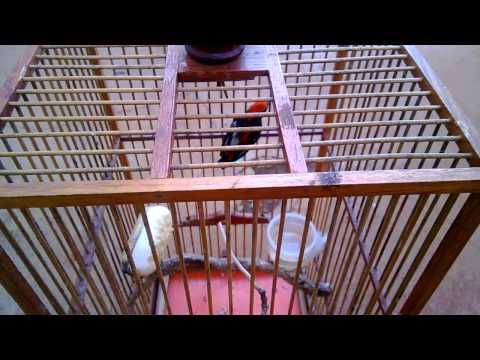 chim ốc mít bông daklak nuôi được 5 tháng cần bán 0934253532.