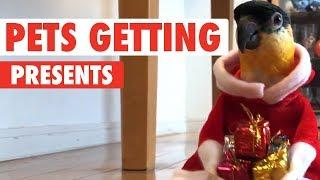 Pets Opening Christmas Presents 2017 thumbnail