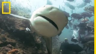 La dangerosité du requin-bouledogue