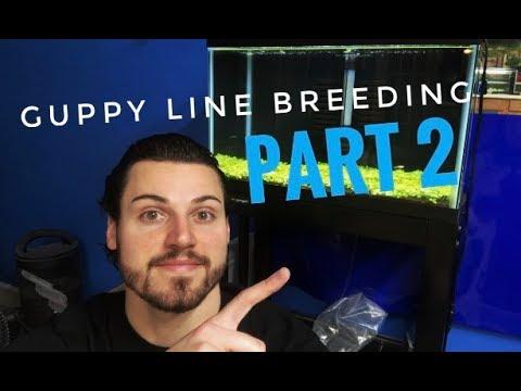 Guppy Line Breeding: Part 2