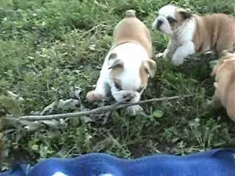 AKC English Bulldog Puppies At 6 Weeks Old