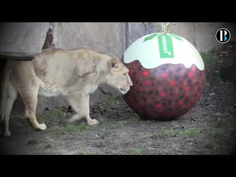 El espíritu navideño llega al Zoo de Londres