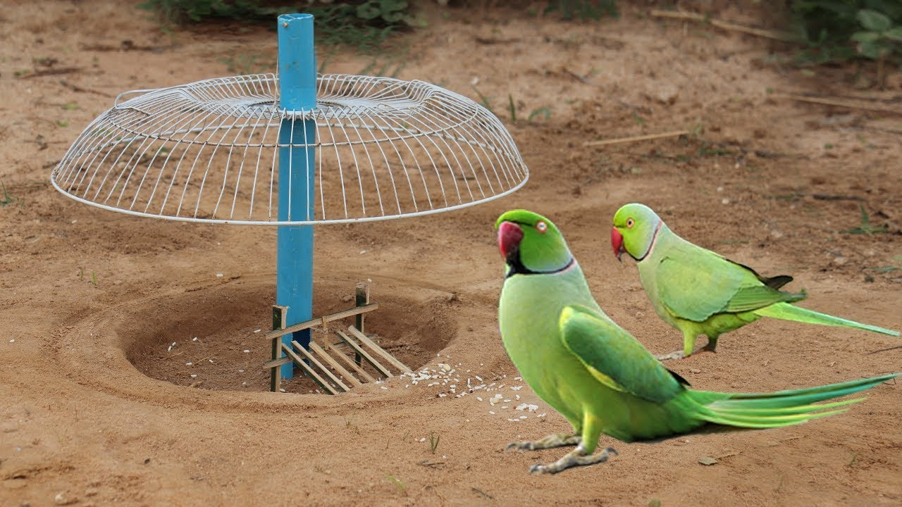 Best way to installed Parrot trap Using electric fan guard and blue pipe - Parrot trap technology