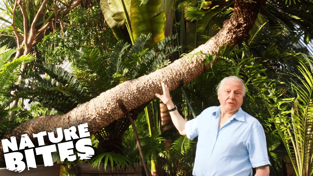 Download The OLDEST Pot Plant in the World with David Attenborough   Nature Bites