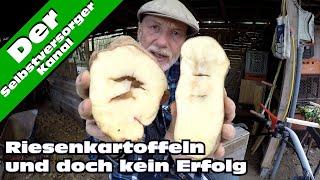 Die beste Kartoffelsorte für den Selbstversorger? Sarpo Mira