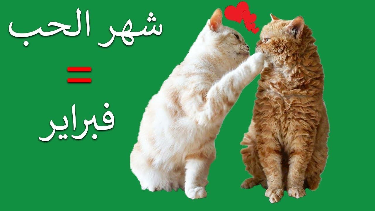 لماذا تتزاوج القطط في شهر شباط وتصرخ بالليل السبب الحقيقي Youtube