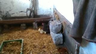 Kura z kurczakami