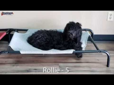 5-month-old-goldendoodle-(rollie)-|-incredible-transformation-|-best-arkansas-dog-training