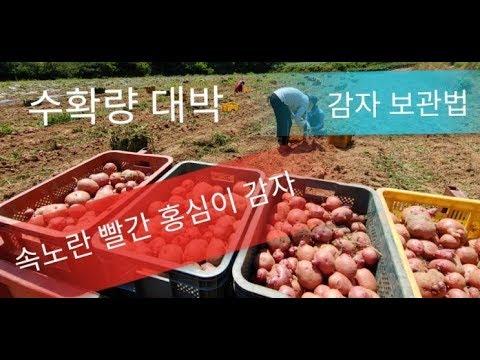 속노란 빨간 감자  홍심이 감자 수확. 감자 보관방법 감자 저장 오래 보관법. 감자 휴면타파 #감자 큐어링 처리하는법. #감자 쉽게 캐는방법 #감자 수확시기