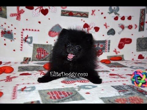 Черный померанский шпиц, мини щенок, тип мини-мишка, продажа