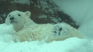 Raw: Oregon Zoo Animals Engage in Snow Frolick