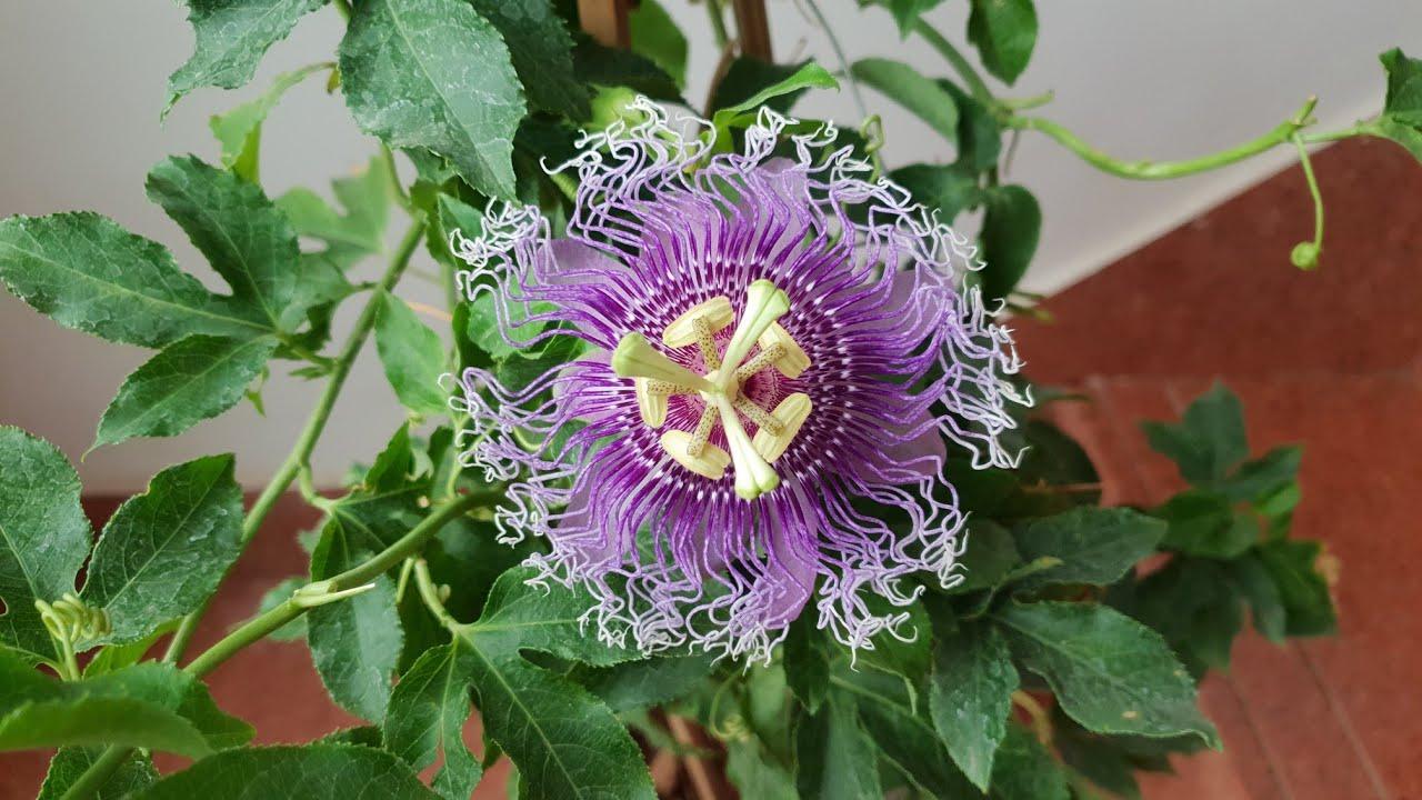 Download Care of Passion Flower / Passiflora / Rakhi Phool / Krishan Kamal || Fun Gardening