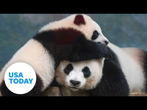 First peek at the new giant panda cub at the Smithsonian National Zoo in Washington | USA TODAY
