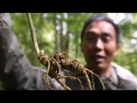 Harbor House Life: Wild Ginseng Hunting in the  Appalachian Mountains