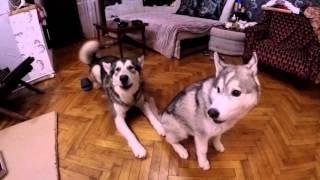 Хаски психанул / Husky freaked out