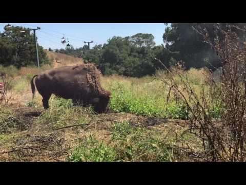 Oakland Zoo Bison enjoying the mister