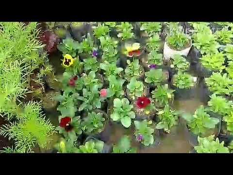 Growing Pansies Indoors Planting Pansies In Pots Pansy Flower