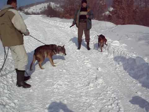 Search kecat dhe ujku shqip - GenYoutube