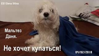 собака видео, мальтезе собака фото, мальтезе видео Даня.