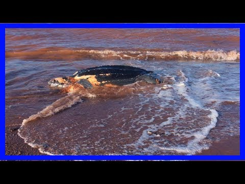 [Chanel News] Cause of death undetermined for leatherback turtle found on p.e.i. beach