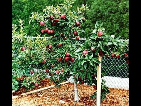 How to prune dwarf apple trees while fruiting?