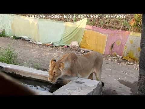 Asiatic liones Gir