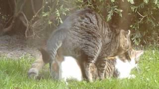 Cats Having SEX!!!