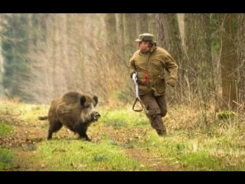 Excellent hunting for wild boar. video collection of good shots