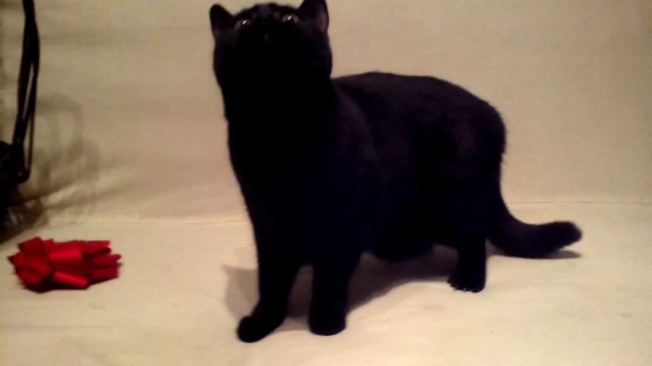 Кошки породы Британская короткошёрстая - YouTube