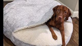 Ryder's new Cozy Cave bed! Vizsla approved