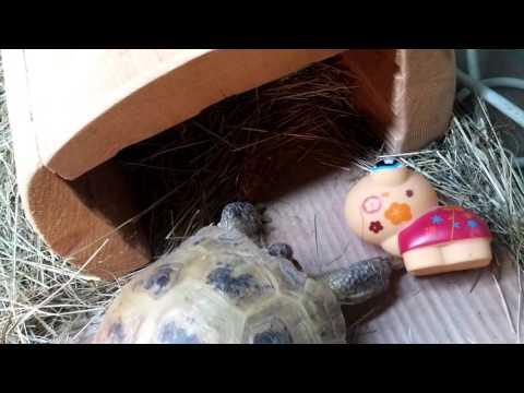 Dangerous killer tortoise attack