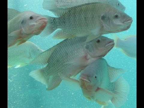 FISHLOVER Fish Pond Red Tilapia Playing In Fresh Water