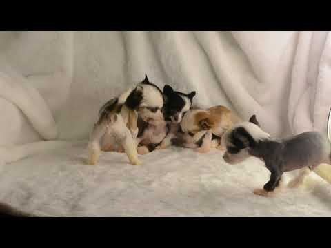 MythicKingdom 4 Hazel Eyed Hairless Chinese Crested Puppies 1 Brown Eyed Puppy At 6 Weeks Together 9