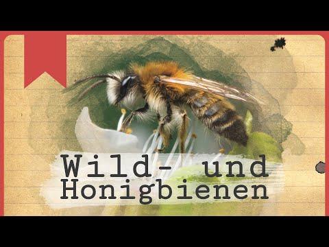 Wild- und Honigbienen - Insecticon