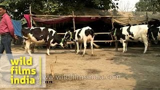 Buy high breed cows at Asia's largest cattle fair in Bihar